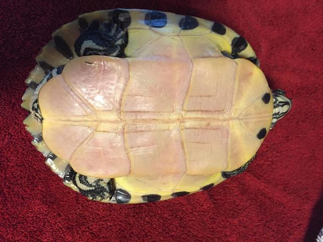Sexage tortue de Floride Ttt3