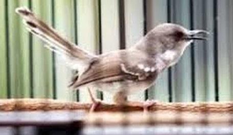 [Image: burung-ciblek.jpg]