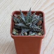 Aloe-descoingsii-x-haworthioides-Plapp-Aloe-cv-Pepe-2-01