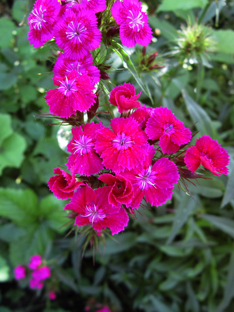 my-carnation-01
