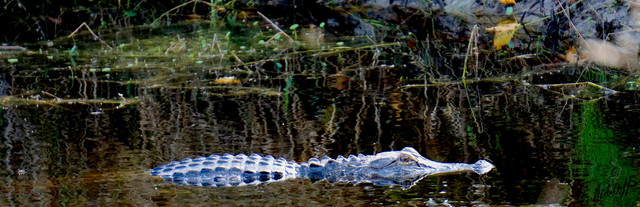His-Majesty-Florida-Gator-in-my-pond