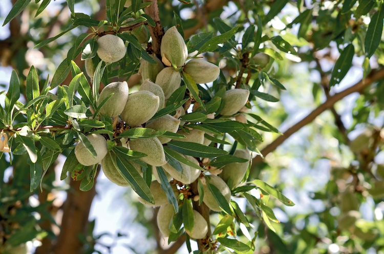 Closeup-of-Almonds-on-Tree