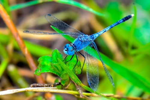 An image of a blue dragonfly, believed to be a sign of good luck.