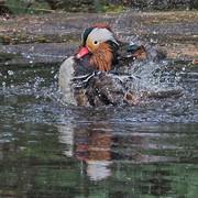 -Mandarin Duck M25s