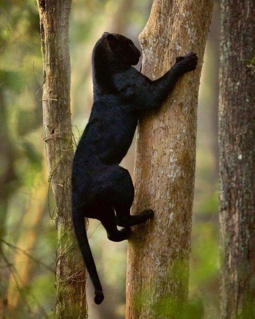 Пантеры ─ это просто огромные чёрные кошки
