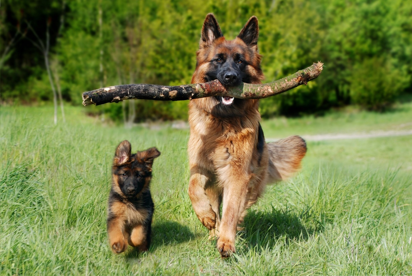 5 Hard Truths About the German Shepherd Breed