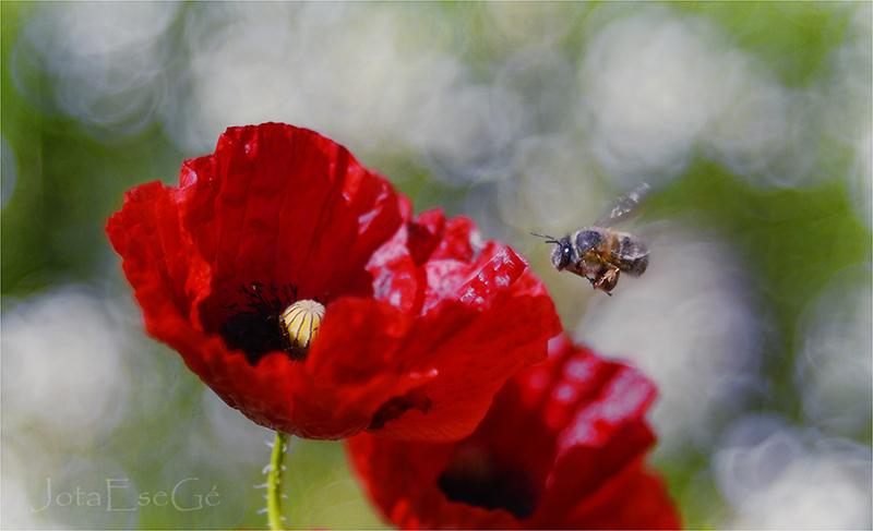 Amapola-y-abeja-en-vuelo-D200-Pentacon-8