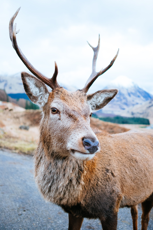 Deer, Stag, Glencoe itinerary, Scotland