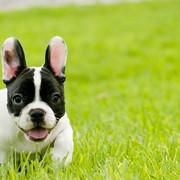 French-Bulldog-Puppy-5-e1569360299127-1280x720