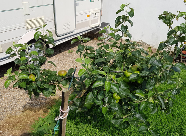 [Image: apple-tree2.jpg]