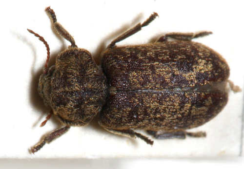 An image of a deathwatch beetle.