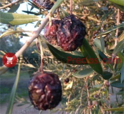 Aceitunas arrugadas por ataque de hongo, antracnosis, jabonosa, aceitunas arrugadas en el árbol