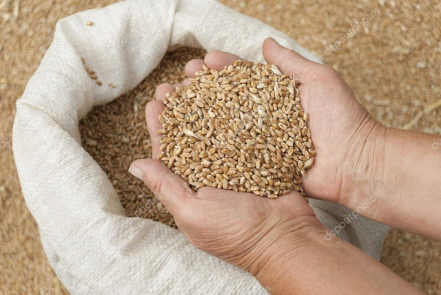 depositphotos-29661231-stock-photo-handful-of-grains-of-wheat