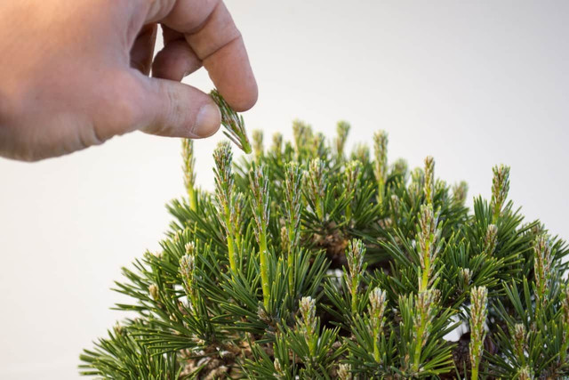 9 Ways to Take Care of Candle Pine Plants to Be Fertile and Healthy