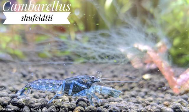 Cambarellus shufeldtii + hair alge
