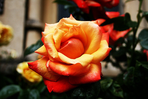 An image of an orange rose to accompany the article about roses in folklore.