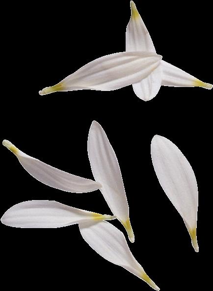 312-3128818-white-flower-petals-png