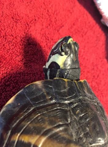 Sexage tortue de Floride Tt3