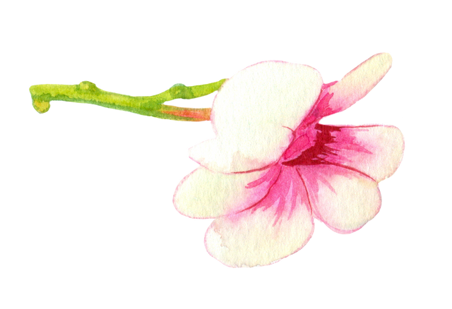 White-pink-orchid-2.png