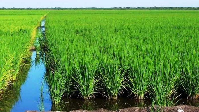 El INTA advirtió que la bajante del río incidiría en la superficie de arroz