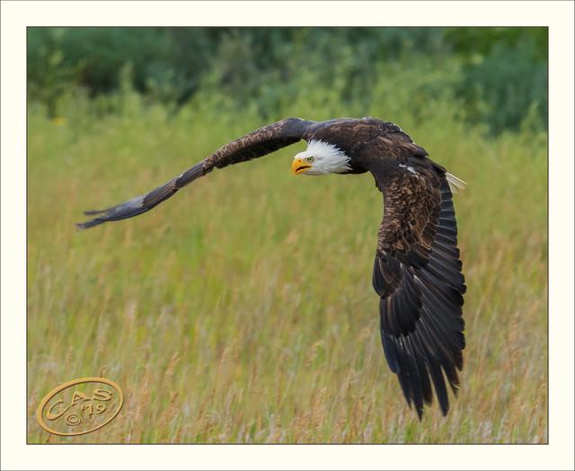 bald-eagle-CAS05183