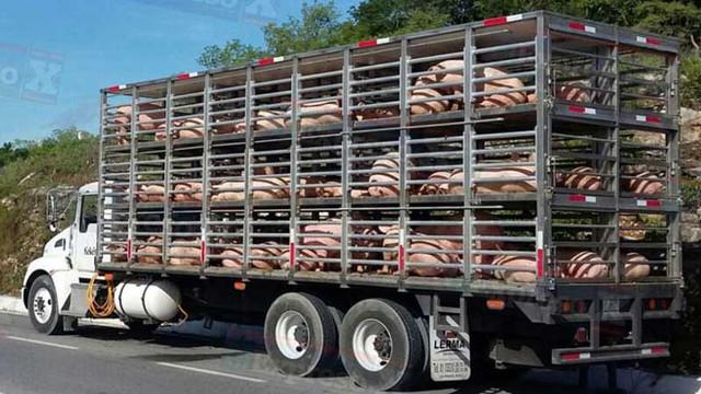 camion cerdos