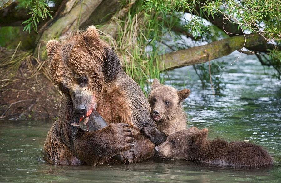 Невероятные фотографии медведей 22