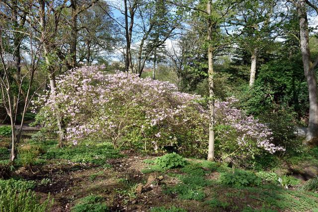 07-Rhododendron-schlippenbachii-DSC-7959