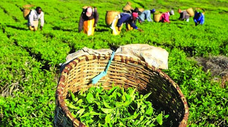 India's tea production going for slump