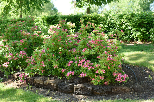 06-Rhododendron-Viscosa-Gruppen-Rosata-DSC-9832