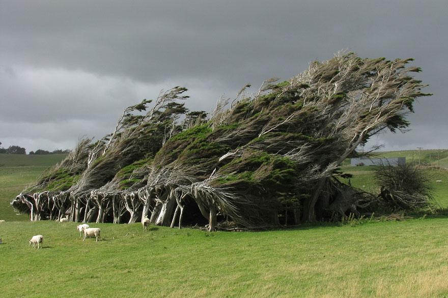 Деревья открытые всем ветрам в Новой Зеландии-18