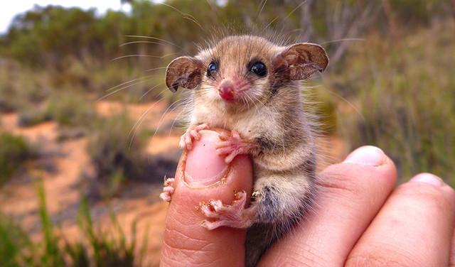 Pygmy-Possum-Amanda-Mc-Lean-Copy-1