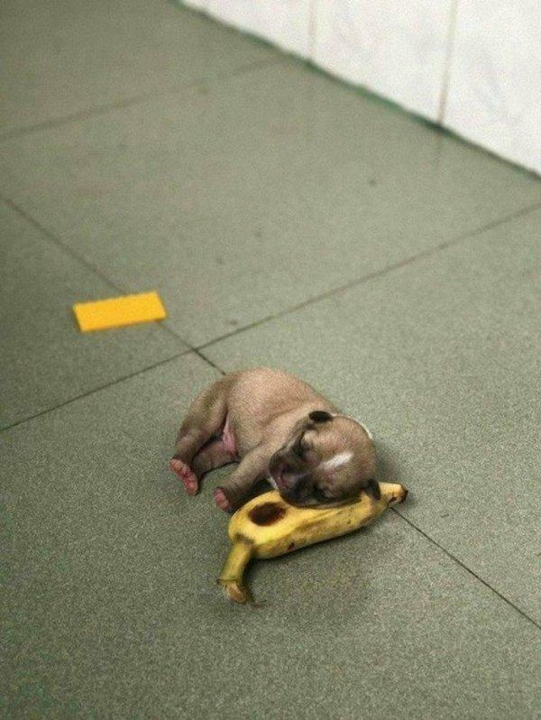 Щенок спит на банане