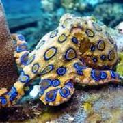 [Image: blue-ringed-octopus.jpg]