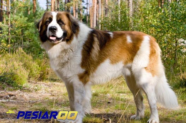 7 Ras Anjing Terbesar di Dunia, Ada yang Berani Pelihara?