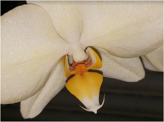 bela-orhideja