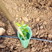 Anomalías en mi plantación (Badajoz) Olivo-2
