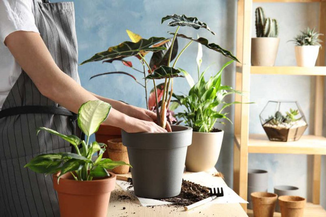 Indoor Air Purifier Ornamental Plants
