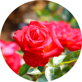 [Resim: symbol-flower.png]