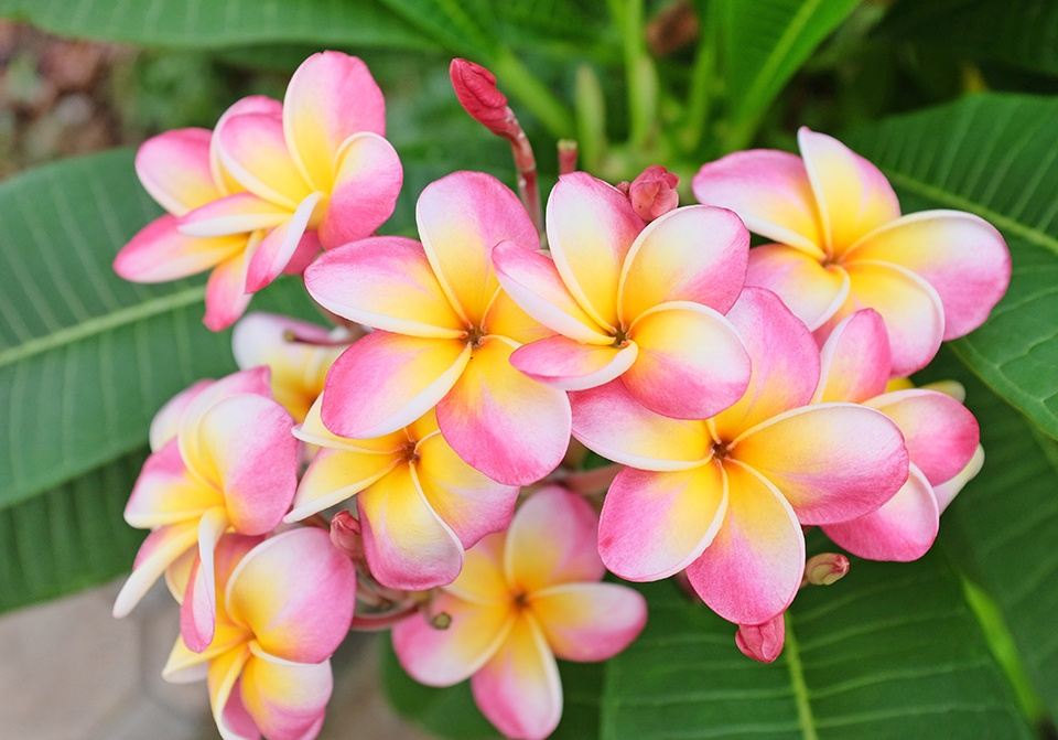 xpink-yellow-plumeria-small-960-671-95-c1-c-c-0-0-jpg-pagespeed-ic-gzp-WU3-Pn-Fz