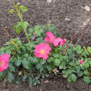 roze35