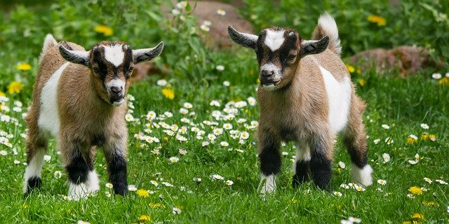 https://i.ibb.co/GRzdtfy/two-goats.jpg