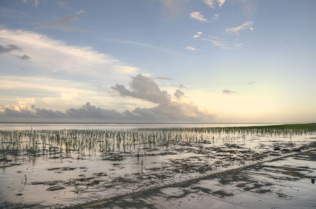 Young-mangroves-planted-along-the-Atlantic-Coast-to-stop-erosion