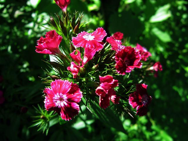 my-carnation-02
