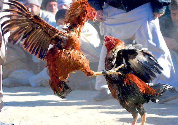 Situs-Sabung-Ayam-Online