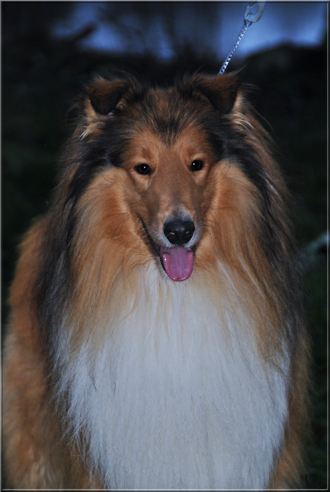 Pitkäkarvainen collie, Goldentroll's Lonesome Rider