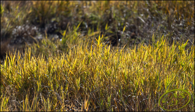 reed-grass-and-sedge-CAS08967.jpg