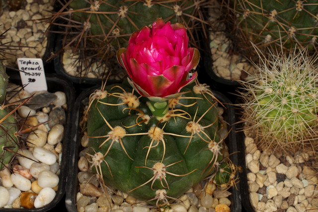 Gymnocalycium 'Jan Suba'