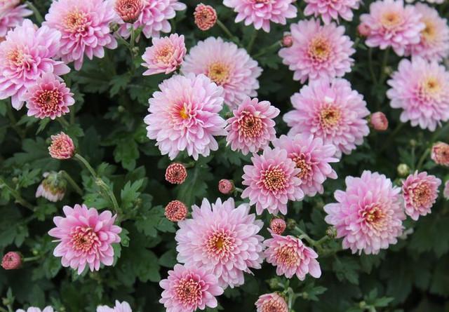 https://i.ibb.co/GvcM0fM/chrysanthemum-rastenie.jpg