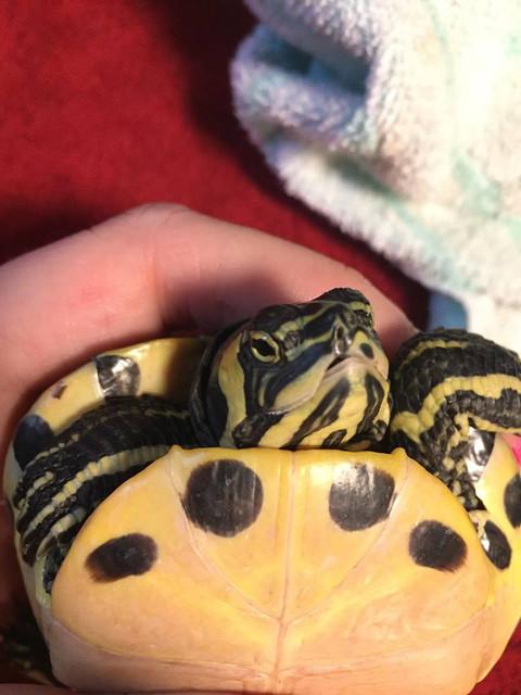 Sexage tortue de Floride Aa